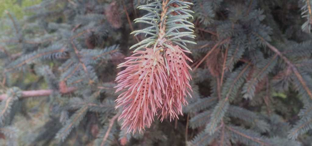 Cooley Spruce Gall