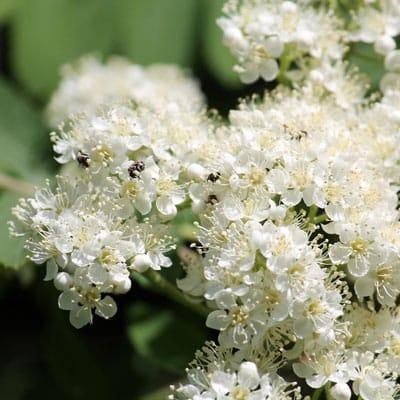 spring flowers on European mountain ash tree