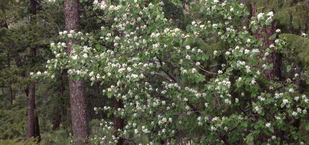 Best spring flowering trees for the denver foothills mightylinksfo