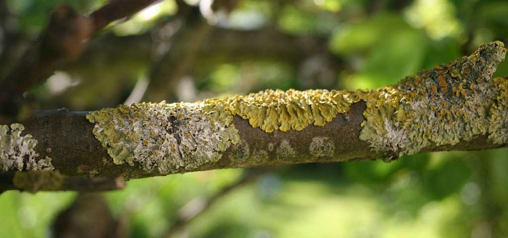lichen on branch