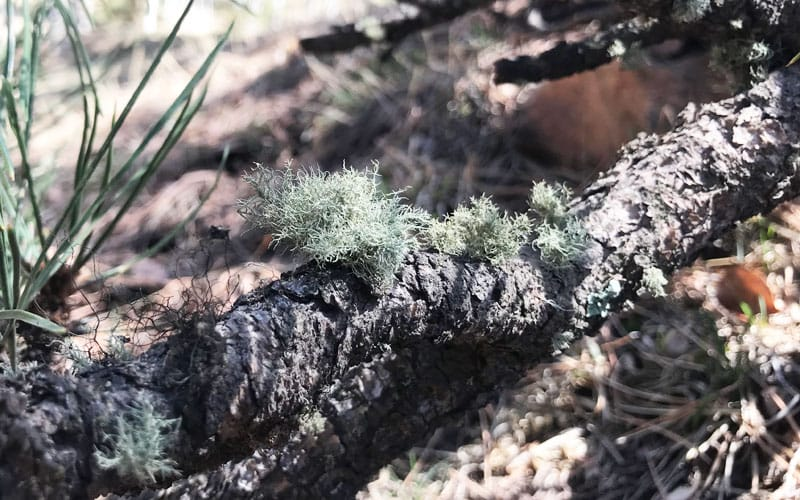 old mans beard on ponderosa pine