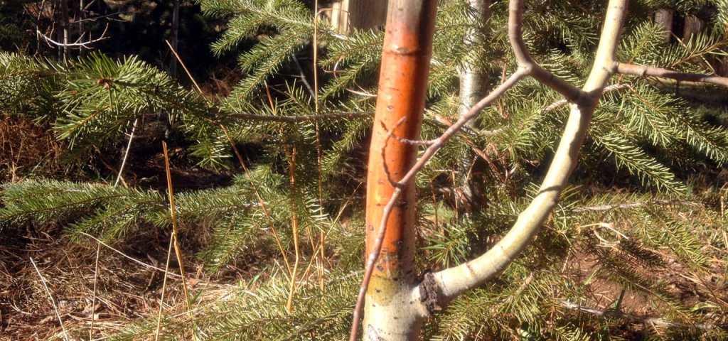 cytospora canker on aspen tree
