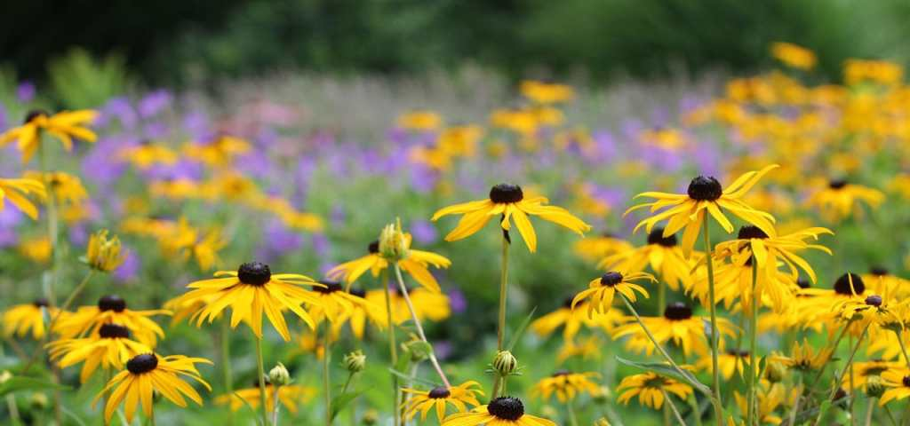 rudbeckia in bloom