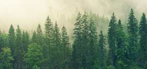 conifers in the fog in the Colorado Front Range near Evergreen, CO