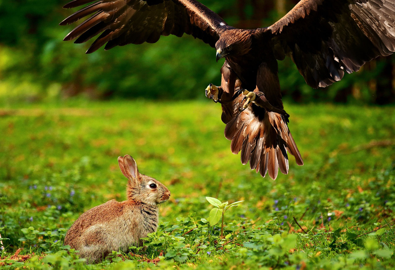 a raptor or hawk snatches a rabbit