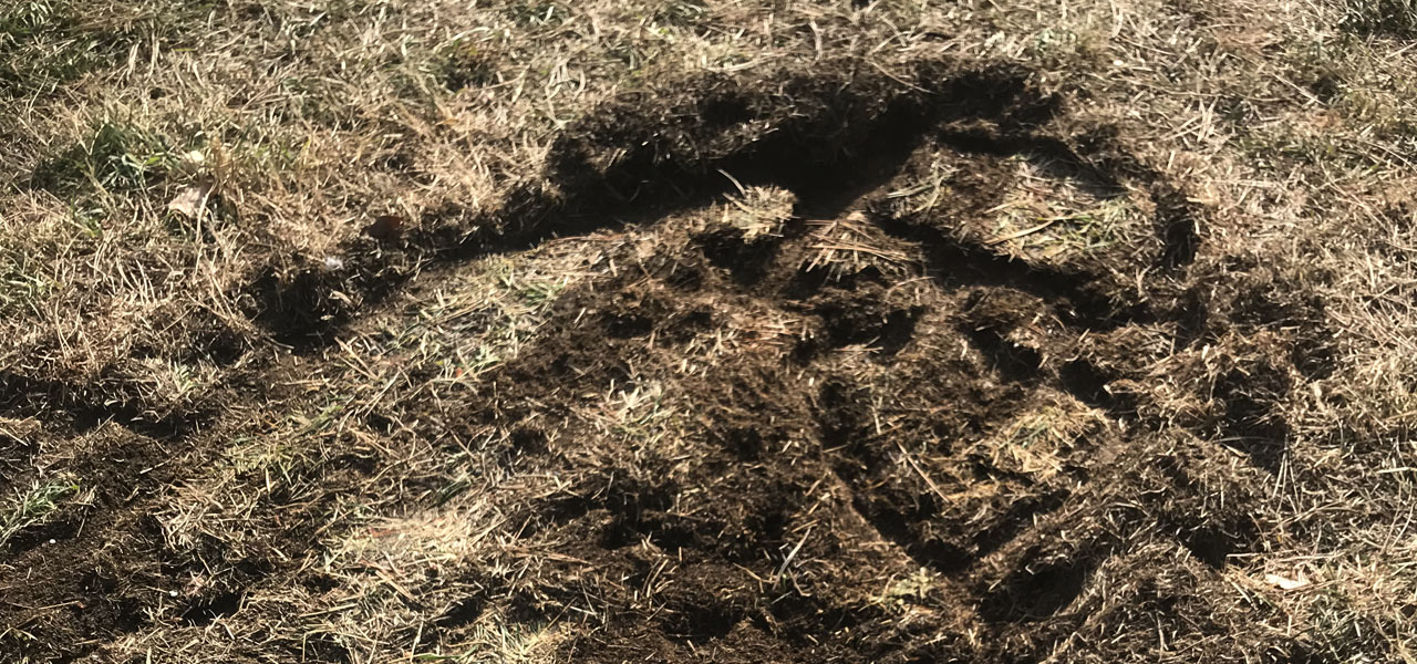 Disturbed ground in a circular pattern are vole tunnels in Evergreen, Colorado