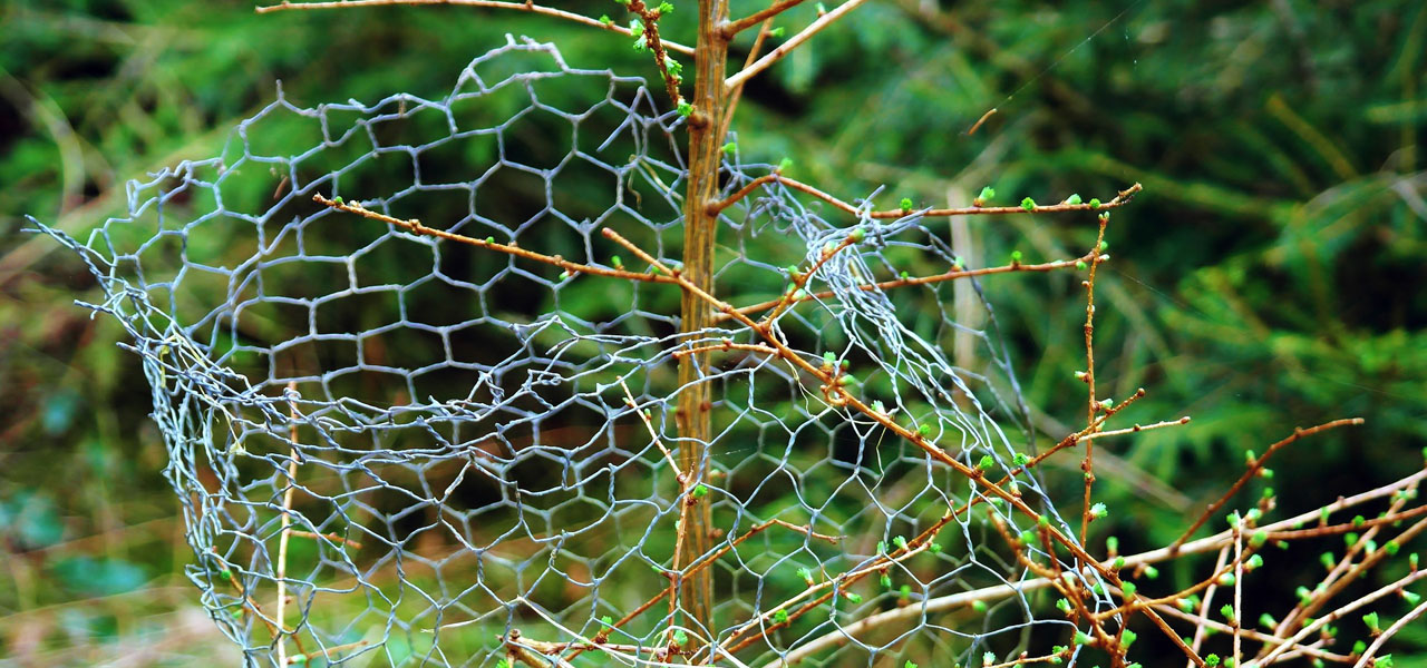 wire mesh around young tree to prevent rodent damage