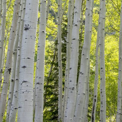 aspen trees featuring white & black bark