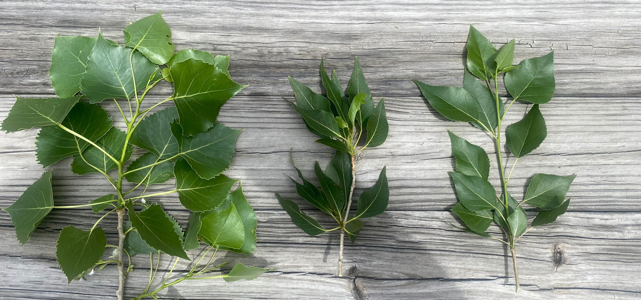 Plains cottonwood, narrowleaf cottonwood, and lanceleaf branches with green leaves on a wooden background