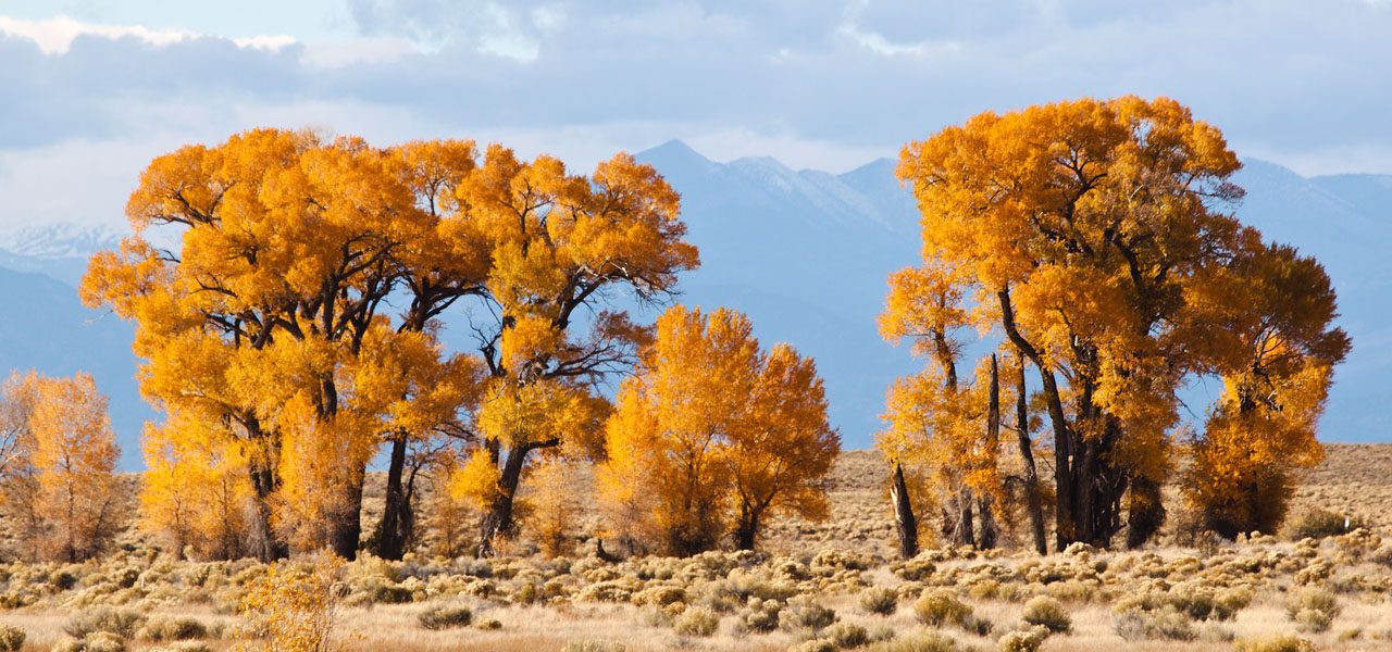 Narrowleaf Cottonwood trees with yellow fall foliage. Mountains in the background. Located in Colorado