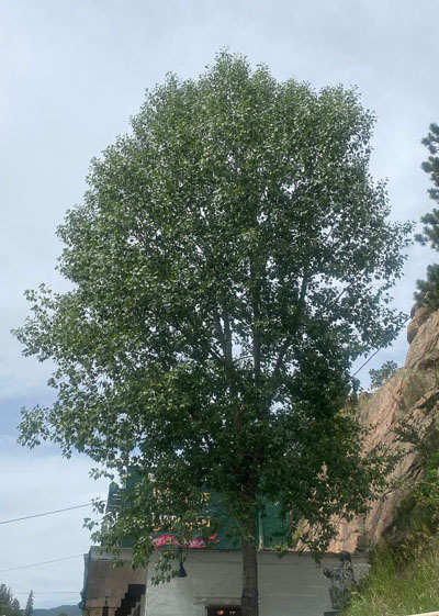 Lanceleaf cottonwood tree in Evergreen, Colorado