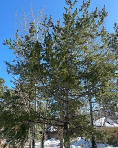 A limber pine growing in the Evergreen, Colorado area