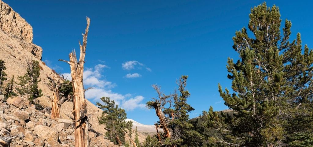 Limber pines dot the landscape in Colorado