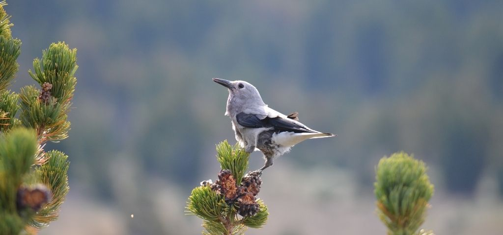 A Clark's nutcracker rests on a tree branch near pine cones that it has opened for their seeds