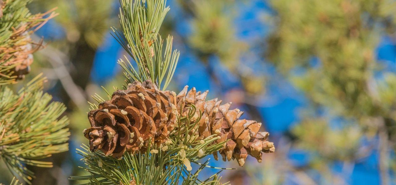 Close-up of limber pine cones.