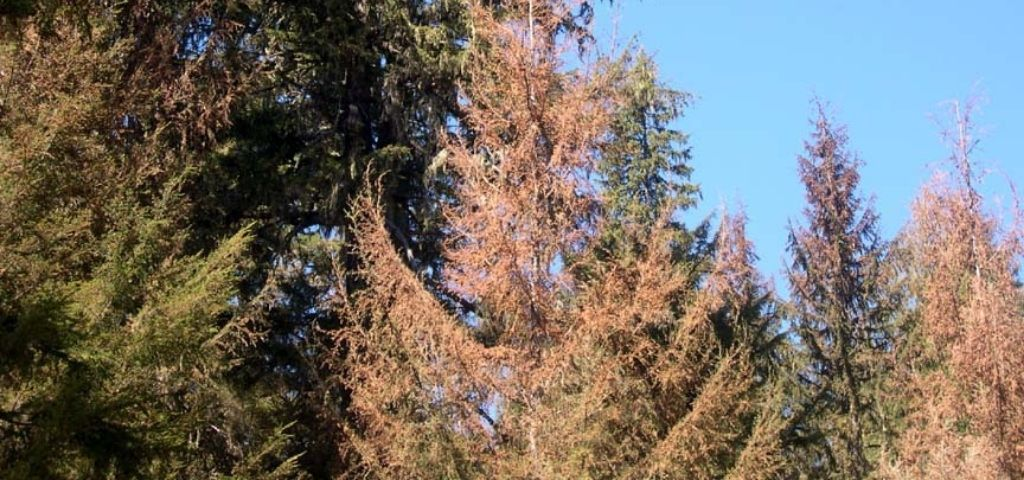 Western spruce budworm defoliation shows up as brown or dying needles in Colorado.