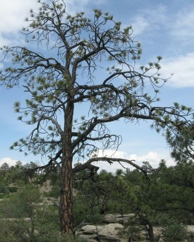 A conifer tree in Colorado with few needles remaining.
