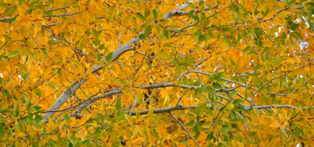 Fall colors of the narrow leaf cottonwood tree show orangish-yellow leaves against green.