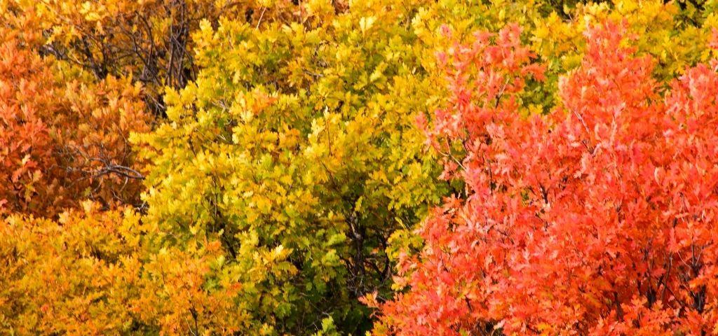 Fall colors of scrub or gambel oak in Colorado.
