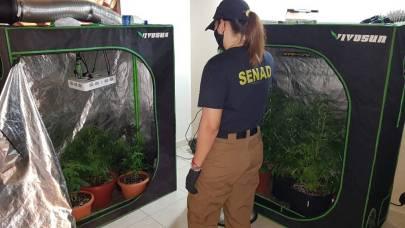 Desbarataron esquema de producción de marihuana en Asunción y Fernando de la Mora. Foto: Gentileza.