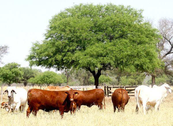 La genética bovina nacional tuvo una gran evolución a lo largo de los años.