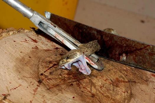 Rattlesnack Beheaded