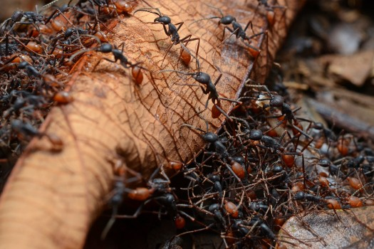 Army Ants - Ant