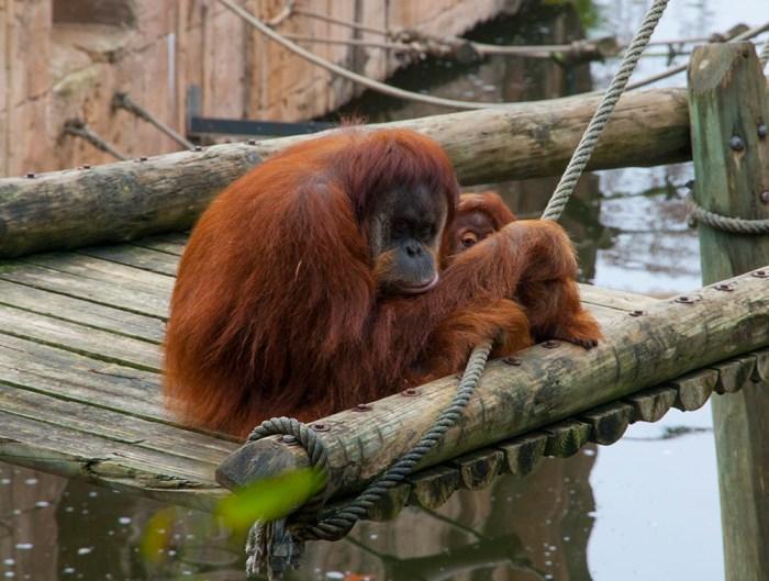 Orangutang på Lissabon zoo.