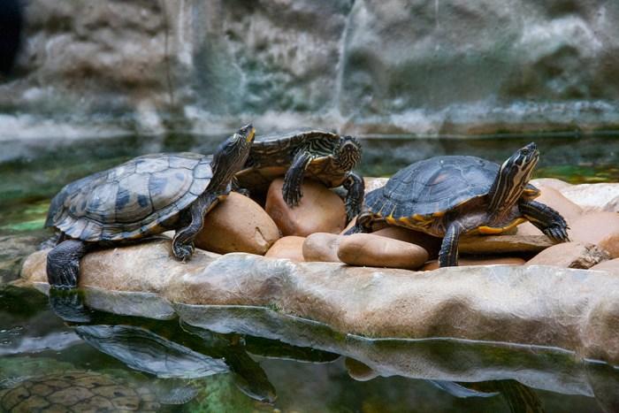 Vattensköldpaddor Lissabon zoo