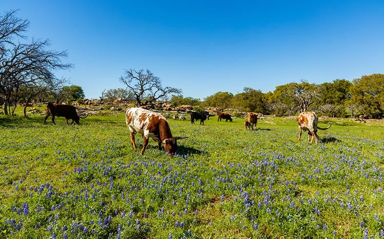 herd of cattle grazing on ranch in Texas