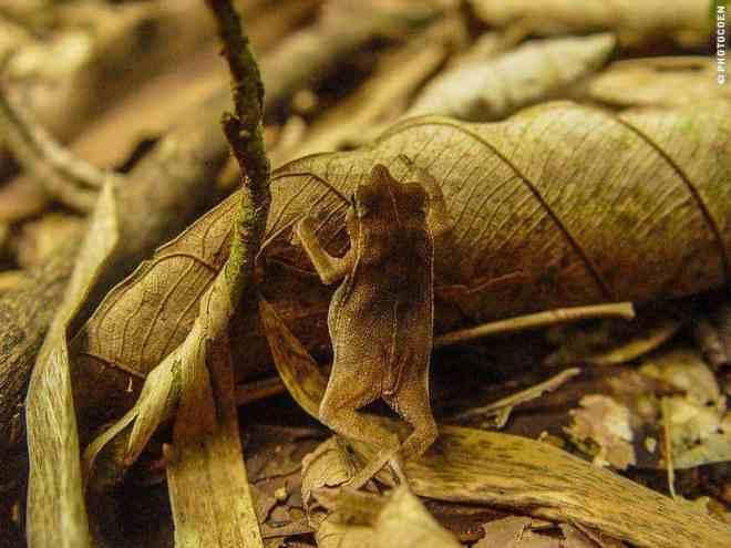Tiny Frog in French Guiana (©photocoen)