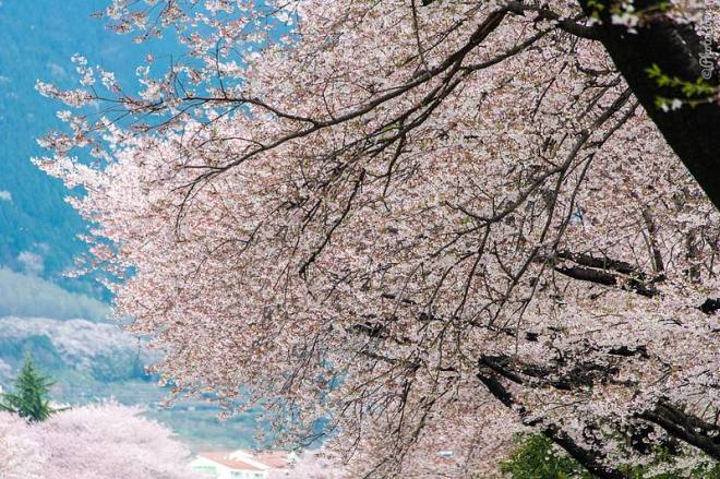 Cherry blossom season in Jinhae, Korea (©photocoen)