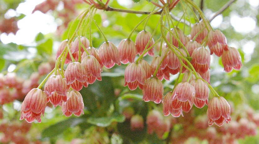 Enkianthus campanulatus – A Different Shrub for Connecticut Gardens