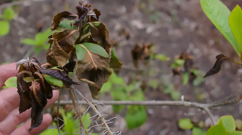 Solutions for Frost and Freeze Damage on Tree and Shrub Foliage