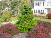 Compact Hinoki Cypress with Red Barberry