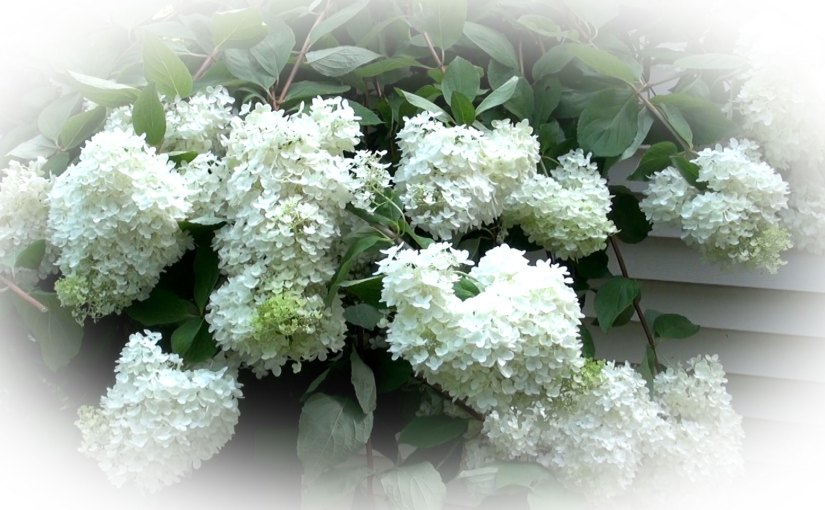 How to Prune a Tree Hydrangea – Part 3