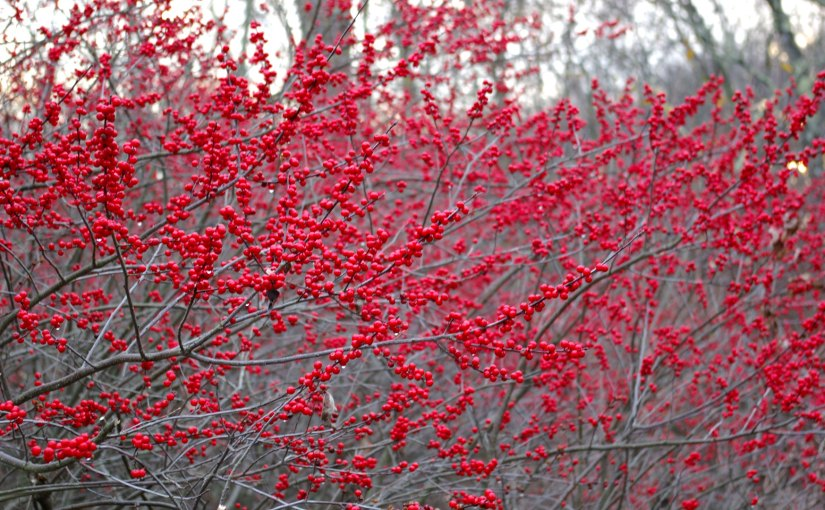What are the Beautiful Red Berries by the Road?