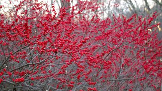winterberry-holly-full-berry