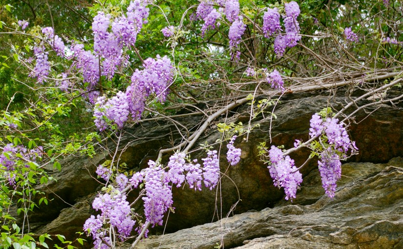 Wisteria – Mother Nature Trumps Man Every Time