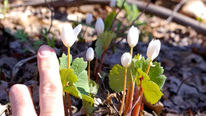 Sanguinaria canadensis Scale 1920 x 1080