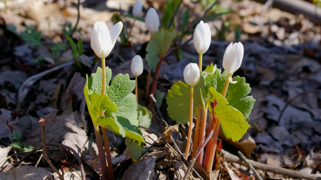 Sanguinaria canadensis close 1920 X 1080