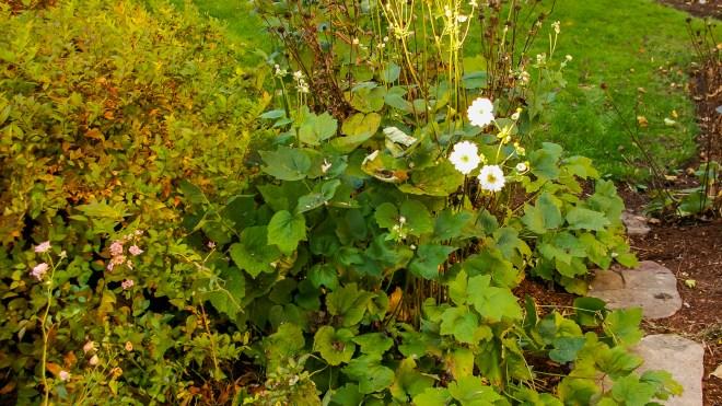 Anemone × hybrida 'Honorine Jobert' Distance