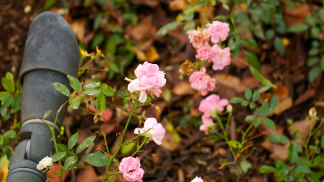 Fairy Rose Grouping - late season blooming flowers