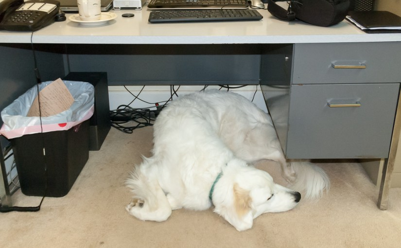 The the Great Pyrenees Dog Under Desk