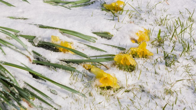 Daffodils (Narcissus sp.) Laid to Waste