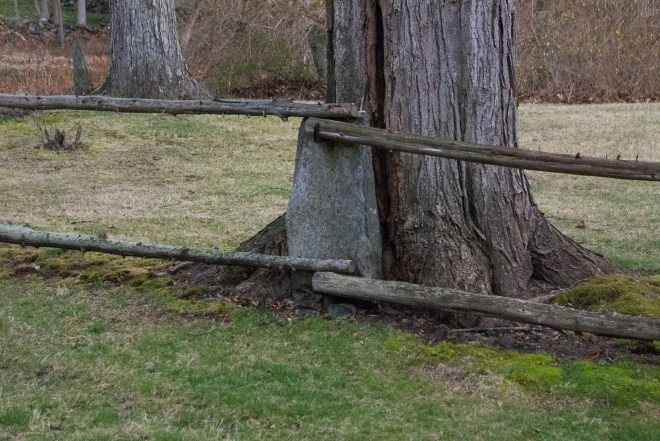 Sugar Maple and Stone Fence Posts