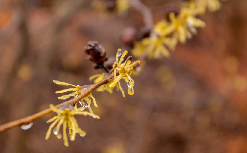 Common Witch Hazel Flower - Hamamelis virginiana
