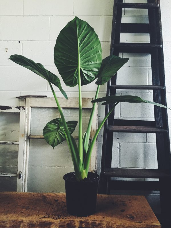 Elephant Ear | The Borrowed Nursery