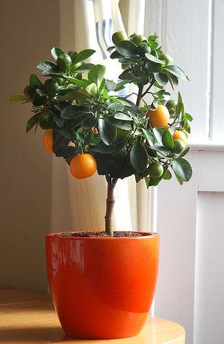 Growing Citrus Indoors | Apartment Therapy