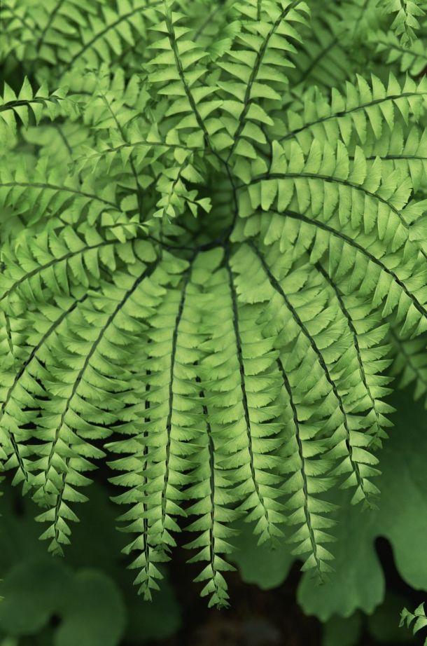 Growing Maidenhair Ferns | The Spruce